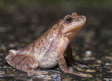 Northern Spring Peeper. (Pseudacris crucifer) side-view Royalty Free Stock Photography