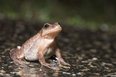Northern Spring Peeper. (Pseudacris crucifer) side-view Royalty Free Stock Photo