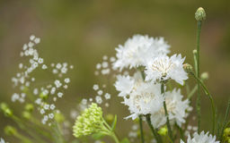 Northern summery bouquet. Of white cornflowers and baby breath Stock Photography