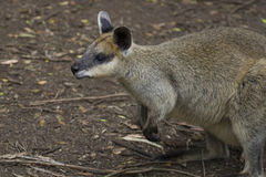 Northern Swamp Wallaby (Wallabia Bicolor) Royalty Free Stock Images