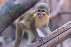 Northern talapoin monkey Stock Image