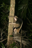 Northern tamandua, Tamandua mexicana Royalty Free Stock Image