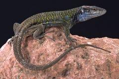Northern Tenerife lizard ( Gallotia galloti eisentrauti) Royalty Free Stock Photography