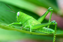 Northern Territory Large Grasshopper drinking water Royalty Free Stock Photography