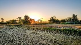 Northern Thailand Rice fields and farming Royalty Free Stock Photography