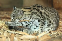 Northern tiger cat Stock Images