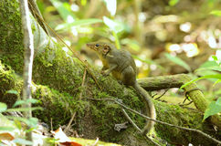 Northern treeshrew Stock Images