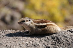 A Northern Treeshrew Stock Photography