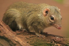 Northern treeshrew Stock Image