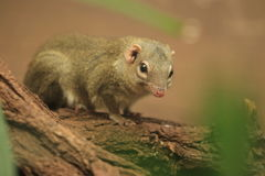 Northern treeshrew Stock Photos