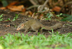 Northern treeshrew Royalty Free Stock Image