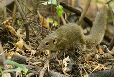 Northern treeshrew Stock Photo