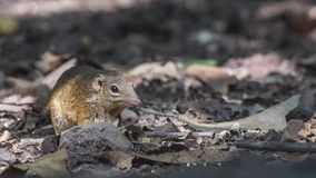 Northern Treeshrew In Rainforest. Northern Treeshrew, Tupaia belangeri, is looking for food in rainforest at Baan Maka, Kaeng Krachan, Thailand Stock Photos