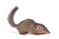 Northern treeshrew, Tupaia belangeri. The northern treeshrew, Tupaia belangeri, is a primitive treeshrew species found in Southeast Asia Royalty Free Stock Images