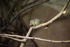 Northern treeshrew (Tupaia belangeri). Stock Photos