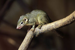 Northern treeshrew (Tupaia belangeri). Stock Images