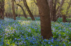 Northern Virginia Bluebell Landscape Stock Image