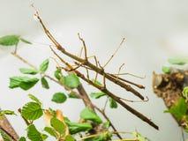 Northern Walking Stick Diapheromera femorata Stock Images