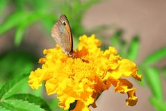 Northern Wall Brown butterfly Lasiommata petropolitana Royalty Free Stock Images