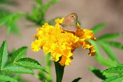 Northern Wall Brown butterfly Lasiommata petropolitana Royalty Free Stock Photos