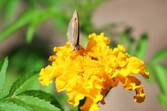 Northern Wall Brown butterfly Lasiommata petropolitana Stock Photography