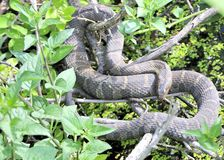 Northern Water Snake Royalty Free Stock Image