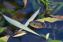 Northern Water Snake 2. Northern water snake with head just out of the water in a pond royalty free stock photography