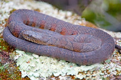 Northern Water Snake. Curled up on a log royalty free stock photo