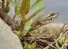 Northern Water Snake. Closeup head shot in the rocks stock photography