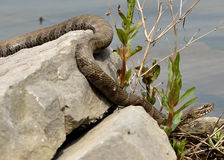 Northern Water Snake. Perched on a rock warming in the sun royalty free stock image