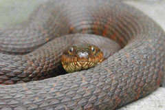 Northern Water Snake. (nerodia sipedon) coiled to strike royalty free stock photo