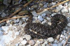 Free Northern Water Snake Stock Photos - 97164553