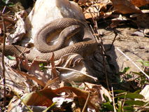 Northern Water Snake. Basking in the fall leaves stock photo