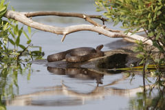 Northern Water Snake Basking on a Rock Stock Photo