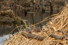 Northern Water Snake. A Northern Water snake basking in a swamp royalty free stock photos