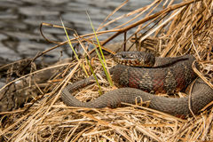 Northern Water Snake. A Northern Water snake basking in a swamp stock photo