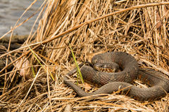 Northern Water Snake. A Northern Water snake basking in a swamp stock photography