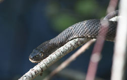 Northern water snake. A closeup of a northern water snake sunning itself on a branch stock photography
