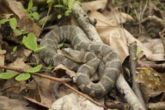 Northern Water Snake. A Northern water snake on a forest floor stock photography