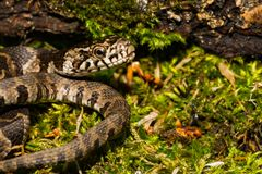 Northern Water Snake Juvenile. A close up of a young Northern Water Snake in New England stock photos