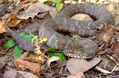 Northern Water Snake, Nerodia sipedon Royalty Free Stock Photography