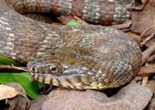 Northern Water Snake, Nerodia sipedon. Macro of face of aggressive fish eating Northern Water Snake, Nerodia sipedon stock images