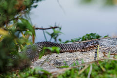 Northern water snake. (Nerodia sipedon stock images