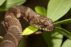 Northern Water Snake (nerodia sipedon). Climbing in a tree stock image
