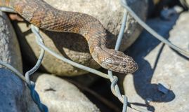 Northern water snake Nerodia sipedon. Northern water snake Nerodia sipedon large, nonvenomous, common snake in the family Colubridae, basks in sunlight on wired stock photos