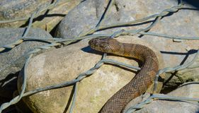 Northern water snake Nerodia sipedon. Northern water snake Nerodia sipedon large, nonvenomous, common snake in the family Colubridae, basks in sunlight on wired stock image
