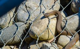 Northern water snake Nerodia sipedon. Northern water snake Nerodia sipedon large, nonvenomous, common snake in the family Colubridae, basks in sunlight on wired royalty free stock photography