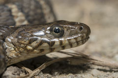 Northern water snake. (Nerodia sipedon) portrait stock photos
