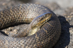 Northern Water Snake Nerodia sipedon sipedon basking on a rock. Closeup of a Northern Water Snake Nerodia sipedon sipedon basking on a rock in summer - Ontario stock photos