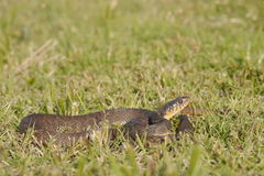 Nerodia erythrogaster. Commonly known as the plain-bellied water snake is a familiar species of mostly aquatic, nonvenomous, colubrid snake endemic to the royalty free stock photo